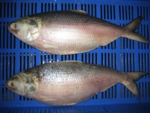Hilsa of Godavari better than Hilsa of Bay of Bengal