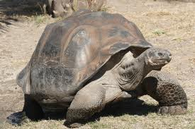 This tortoise gets its name-gigantea- after 200 years of ambiguity