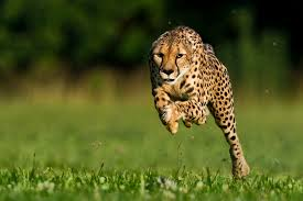 cheetahs-uses-inner-ears-to-run-65-miles-per-hour