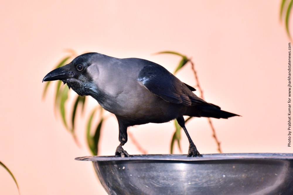 want-to-be-in-cheers-watch-crows-in-action