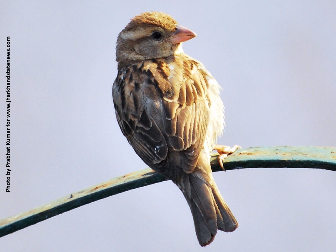 Sparrows think,express emotions;Humans make them live on verge of extinction