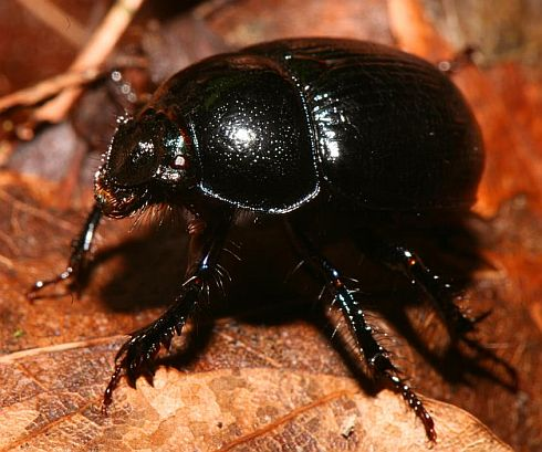 Dung beetles move watching stars