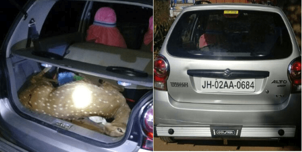 <p>Police in Tatijharia area of Hazaribagh district recovered a bullet hit deer from inside Maruti Alto and sized one gun and 40 cartridges.Two persons were arrested.</p>