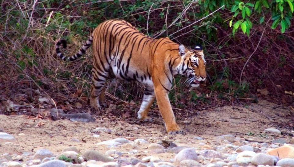 <p>Tiger population doubles: Prime Minister Narendra Modi today released the All India Tiger Estimation Report 2018 and said the country has emerged as of one of the biggest and safest…