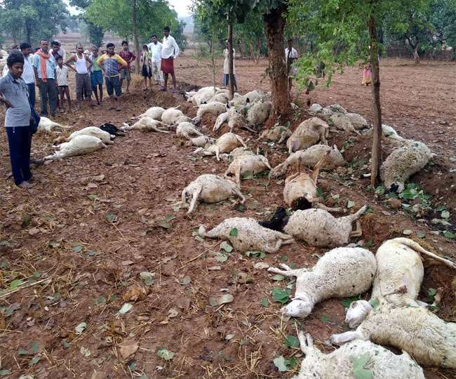 <p>Monsoon arrived with lightning. It resulted in the death of 60 lambs in Jharkhand. The incident took place in Koinbar village under Majhiaown block in Garhwa district in the late…