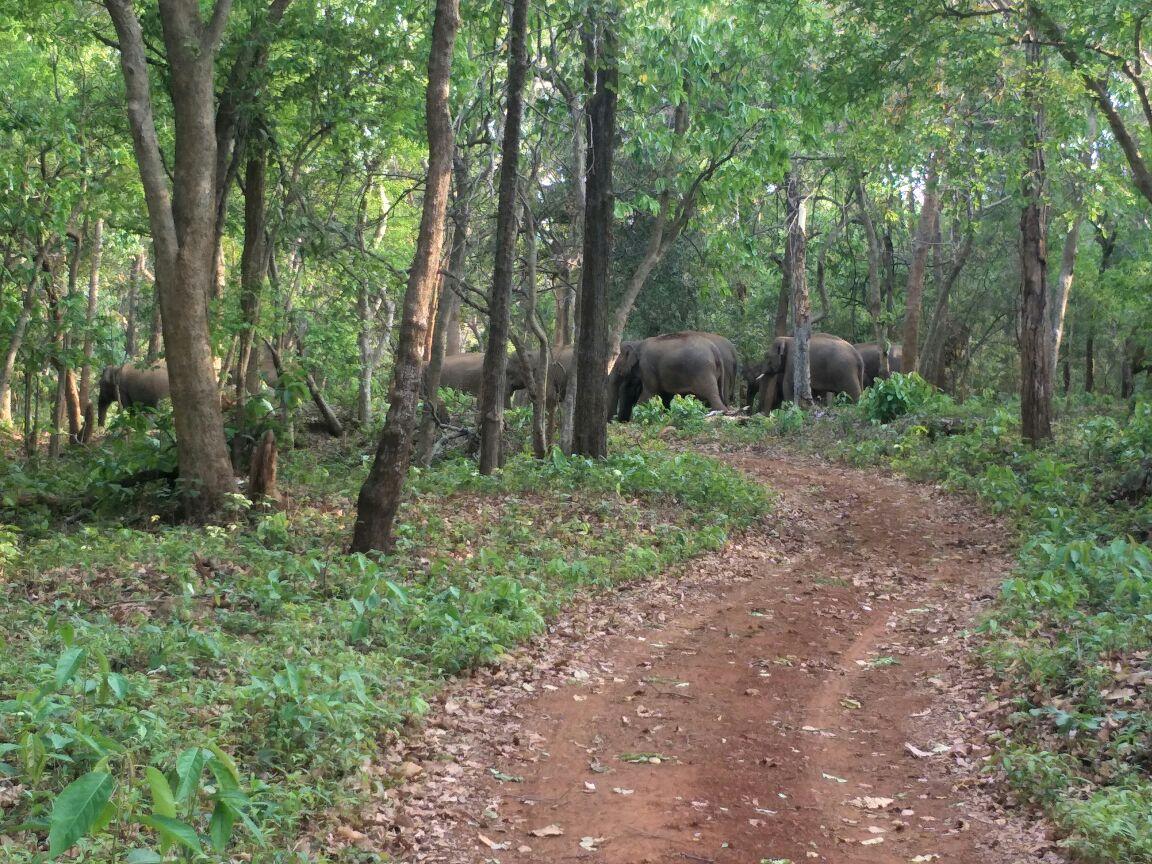 <p>Wild elephants moving around their corridor in Jharkhand.</p>