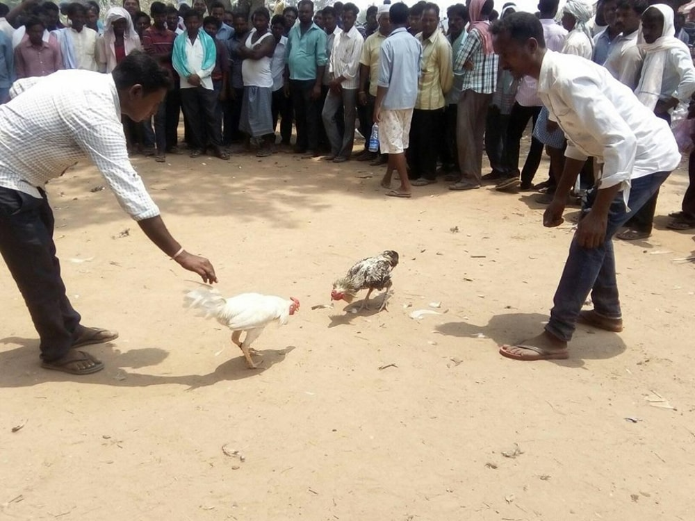 <p>People enjoying traditional cock fight being held during first day of Rozo festival at Sonahatu 65 kms from capital Ranchi on Tuesday.</p>