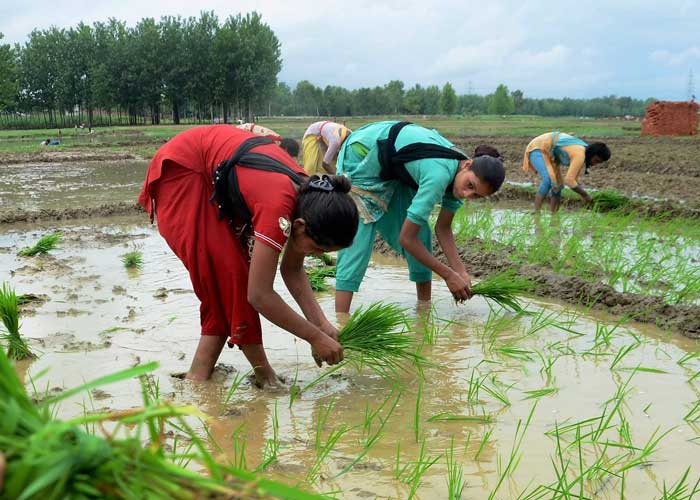 Women sow paddy in low lying fields in Ranchi
