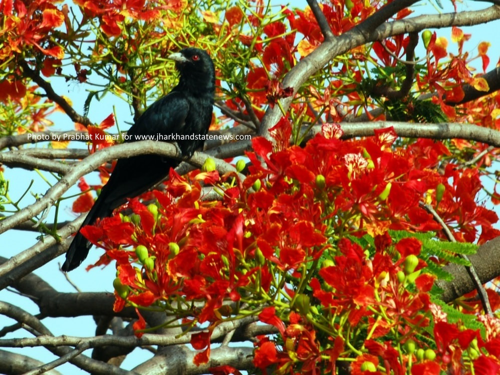to-get-charmed-in-wee-hours-spot-in-action-jharkhand-state-bird-koel