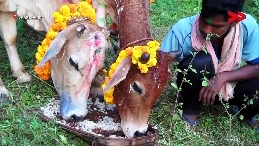 sohrai-thank-you-to-cattles-festival-begins-in-tribal-belt