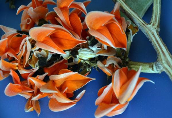 Braham Briksham of Nature-Palas,Flame of the Forest ... Palash Flower In Hindi