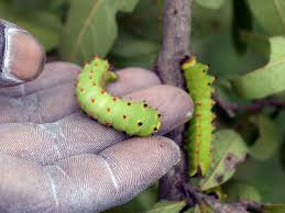 tasar-scientists-develop-tech-to-draw-protein-from-silkworms