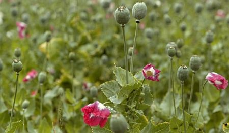 Yet to be identified mafia uses 'culture system' to cultivate opium in Jharkhand