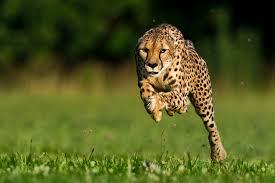 Cheetahs' uses 'inner ears' to run 65 miles per hour