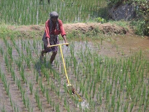 Farmers in cheers as widespread rains bring deficit down in Jharkhand