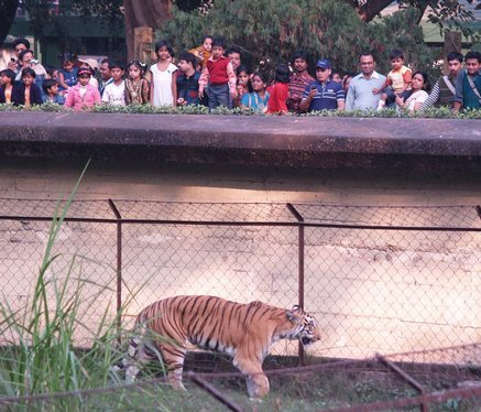 'Five tigers in Saranda,one tiger in Hazaribagh'