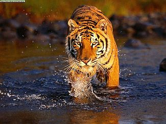 See Animal Planet's documentary series on Royal Bengal Tiger