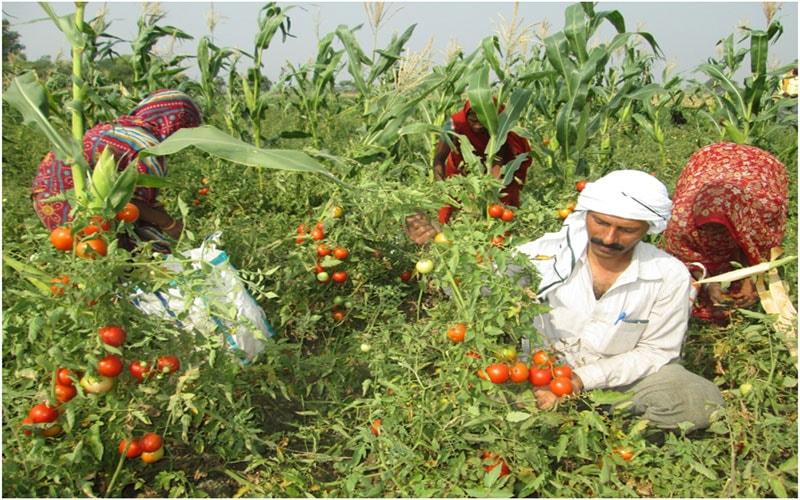 Jharkhand Farmers take up organic farming,use cow urine