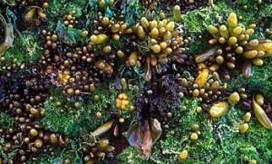 Algae can be a big source of Biodiesel