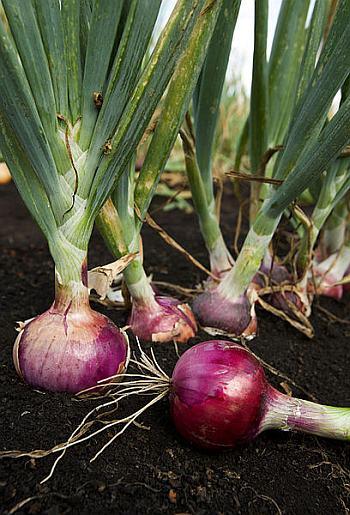 Onion (Allium Cepa) has many health benefits