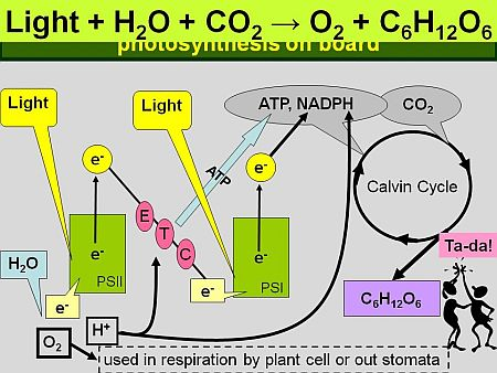 Deriving Bio-electricity from Leaves