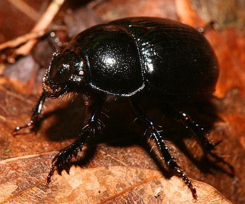 Dung beetles move watching stars