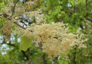 Sal trees sprinkled petals on Buddha
