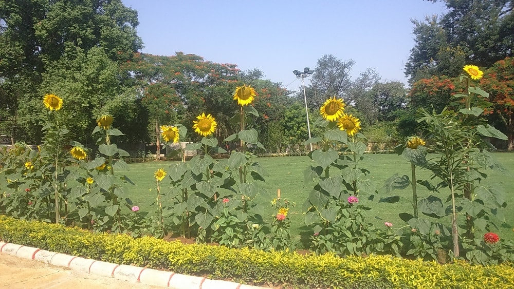 <p>On the World Environment Day,Suryamukhi flowers are being highlighted by www.jharkhandstatenews.com.Reason?These Suryamukhi flowers are useful for treating many diseases -piles,ophthalmic…