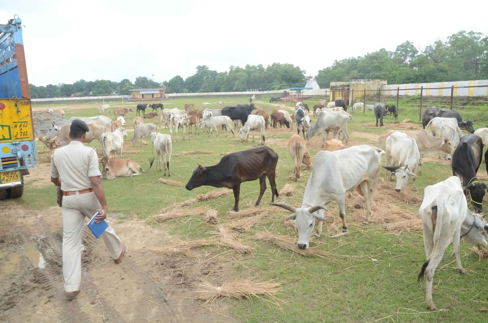 <p>Scores of cows were rescued from alleged smugglers on thursday and sheltered at a makeshift cowshed in HEC campus at Dhurwa in Ranchi on Friday.</p>