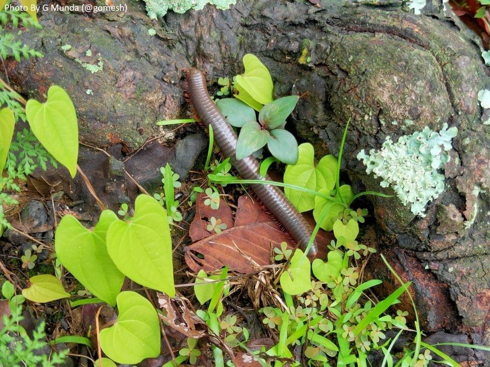 <p>Encountered a large millipede while walking through the woods in the Khunti district of Jharkhand.</p>