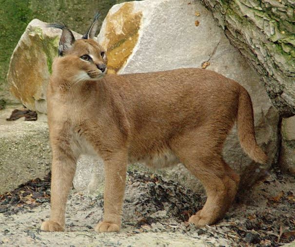 <p>Prakash Javedkar Tweets: Happy to announce NBWL approval for recovery program of Caracal, a medium-size Wild Cat found in some parts of Rajasthan and Gujarat. Now, there are 22…