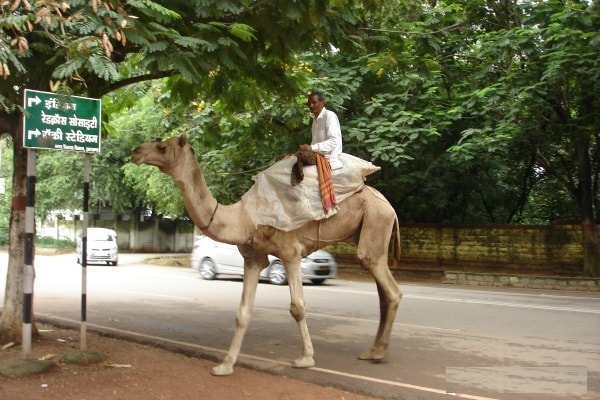 <p>A rider sitting and moving by a camel at Morahabadi Maidan in Ranchi,capital of Jharkhand in India </p>