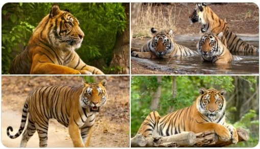 <p>Bhupender Yadav@byadavbjp: Today, over 70% of the world's tigers are found in India. Under PM Shri@narendramodiji, the impetus given to conservation…