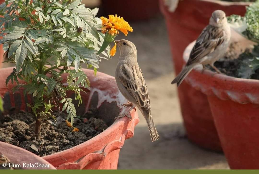<p>Vanishing sparrows in urban areas were spotted in rural areas of Jharkhand near Tamar block located along Ranchi- Jamshedpur Highway on Saturday.</p>