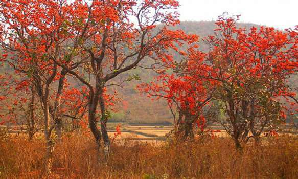<p>Nature's Beauty-Flame of the forest in Jharkhand.</p>