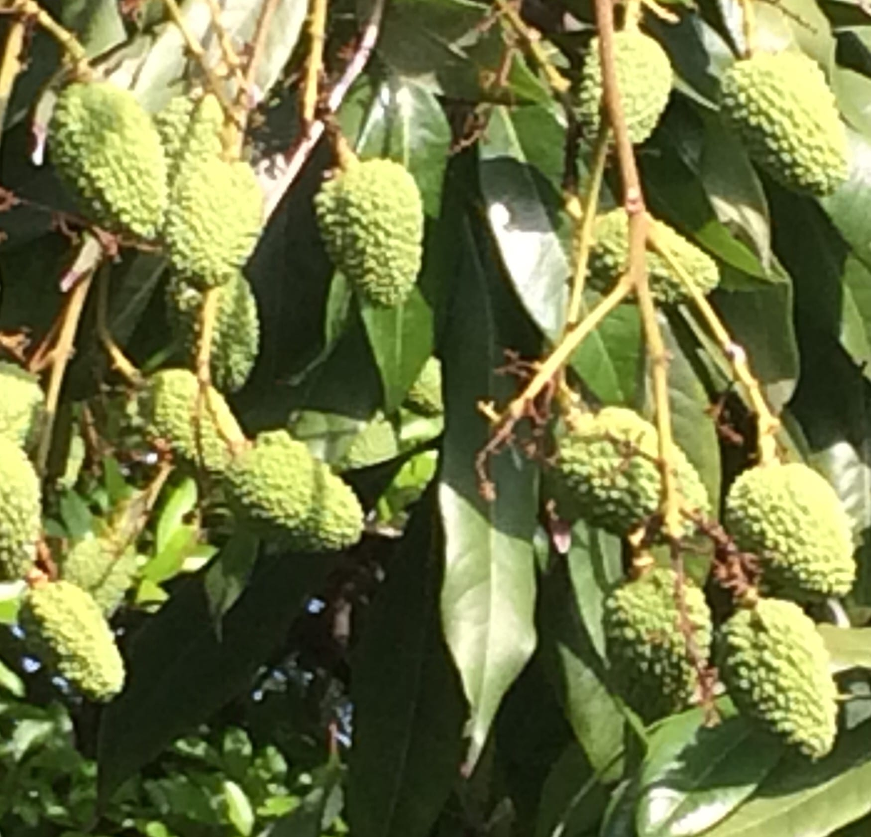<p>In the process of fructification is Bihar-Jharkhand's queen fruit- litchi at Raj Bhawan, Ranchi in the second week of May,2020-the time witnessing climate change in the form…