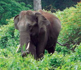 <p>Wild elephant crushed to death in Gold forest area in Ramgarh district.The Son who dared to rescue his dying father was chased.However,he managed to survive.</p>