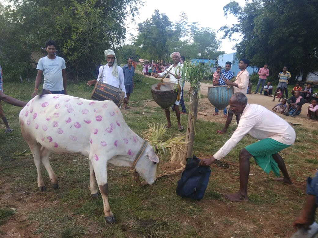 <p>Farmers celebrating 'Sohrai' festival at Rahe block under Sonahatu police station, 65 KMs from capital Ranchi on Saturday. During the festival, farmers decorate cows…