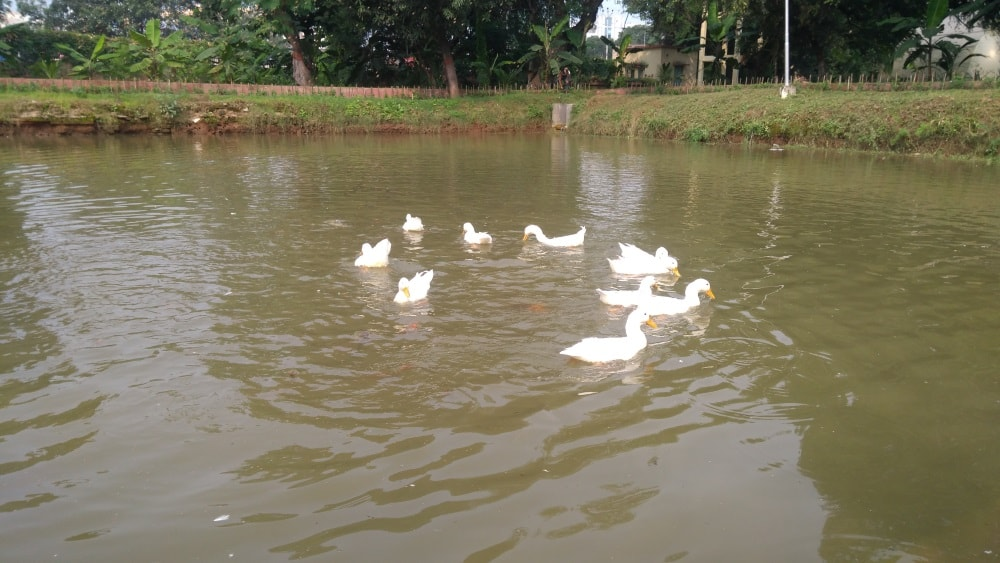 <p>Ducks love fresh water.Since they dirty it up pretty quickly,fresh water was needed in the pond to keep them healthy.Aware of it,Governor's Principal Secretary Santosh Kumar…
