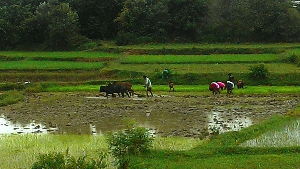 <p>A tribalfarmer from a village in Khunti ploughing his paddy field after rains.</p>
