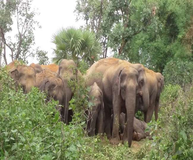 <p>Today, a herd of wild elephants trampled to death a cow herder inside Mahuatand jungle under Kothi village of Bokaro district. The dead person has been identified as Mohan Mahato(50)of…