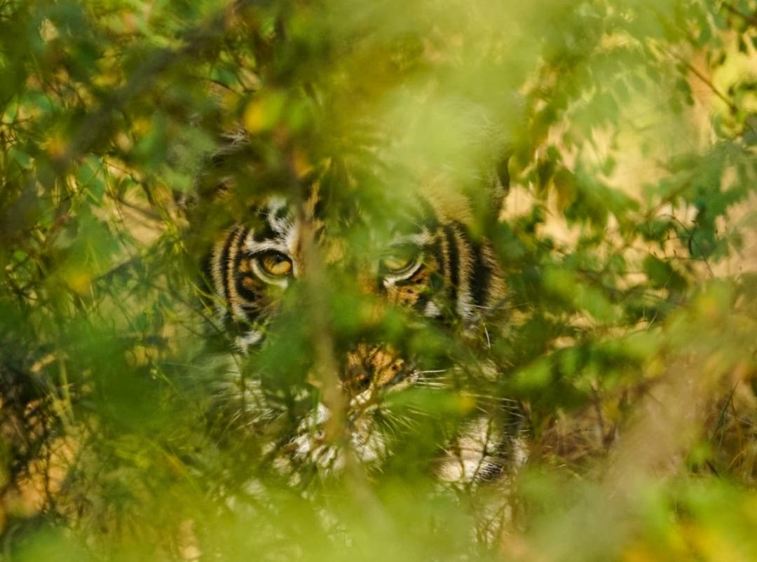 <p>Manmade environment disaster showcased by a computer generated picture reflecting the pain and anger of King of the jungle on the International Tiger's Day.</p> <p>Happy International…