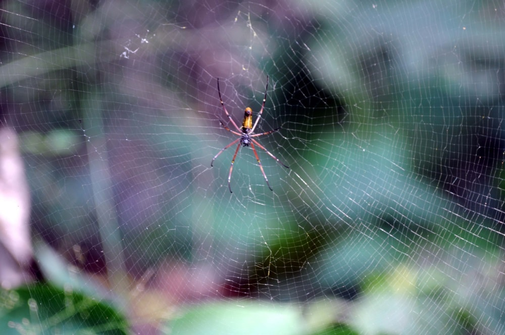<p>Spider creating web and waiting for  prey near a forest in Ranchi on . The electrostatic charge of flying insects attracts the silk strands of the web, potentially aiding spiders…