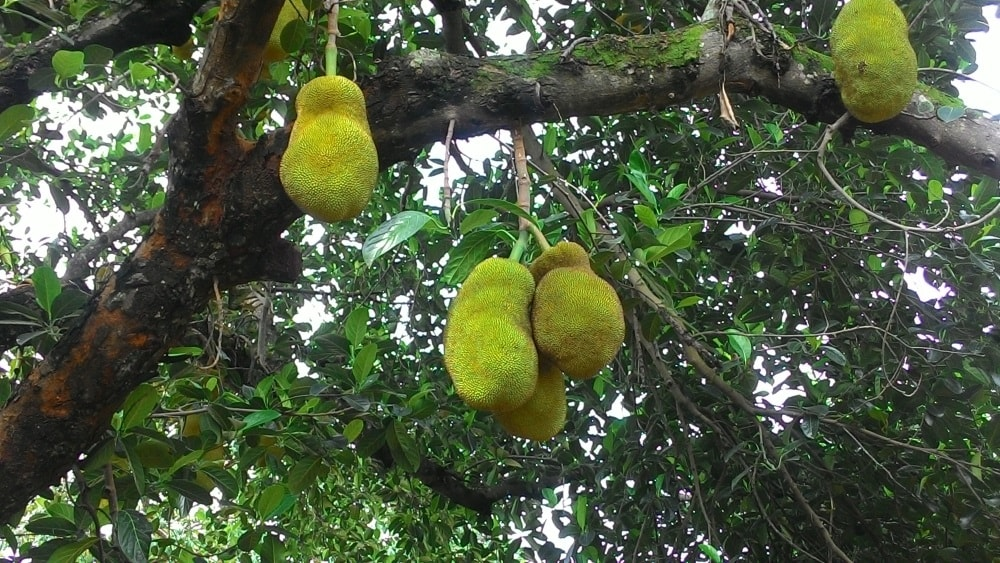 <p>At around this time of the year, Jackfruit (Artocarpus heterophyllus) can be seen hanging from trees throughout the villages, especially is tribal Jharkhand. </p>