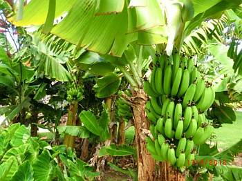 Online petition to keep GMO Bananas out of India goes viral
