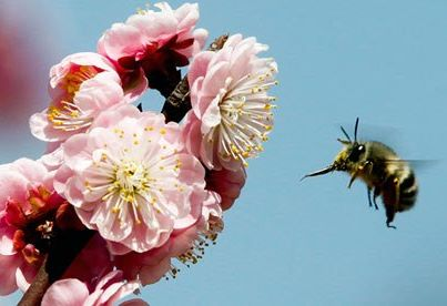 Why weak males are avoided by female bees?