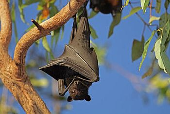 Bats may hold key to long life