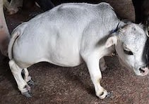 going-viral-is-rani-the-smallest-cow-of-dhaka