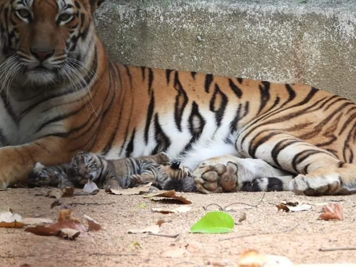 Tigress blessed with three pubs in Birsa Munda Zoo