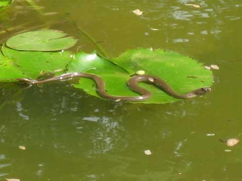 Snake basks in the lilly pond over a Kamal leaf